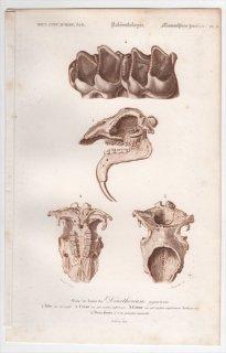 1849年 D'Orbigny 万有博物事典 哺乳類の化石 Pl.2 デイノテリウム科 デイノテリウム Dinotherium giganteum 骨格 恐竜