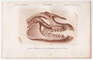 1849年 D'Orbigny 万有博物事典 哺乳類の化石 Pl.3 パレオテリウム科 パレオテリウム Palaeotherium crassum 頭蓋骨 骨格 化石 恐竜