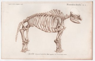 1849年 D'Orbigny 万有博物事典 哺乳類の化石 Pl.6 マムート科 マストドン Mastodon gigantium 骨格 化石 恐竜