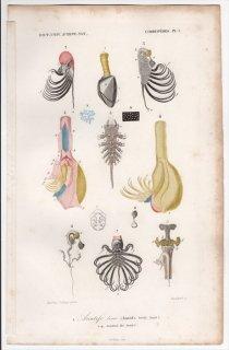 1849年 D'Orbigny 万有博物事典 蔓脚類 Pl.1c エボシガイ科 エボシガイ属 エボシガイ Anatifa laevis