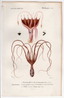 1849年 D'Orbigny 万有博物事典 軟体動物 Pl.1 ゴマフイカ科 ゴマフイカ属 Histioteuthis bonelliana マダコ科 マダコ Octopus vulgaris