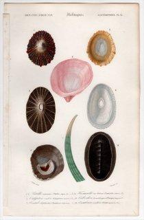 1849年 D'Orbigny 万有博物事典 軟体動物 Pl.13 ツタノハガイ科 スカシガイ科 カリバガサガイ科 カツラガイ科 ゾウゲツノガイ科など8種