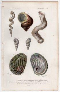 1849年 D'Orbigny 万有博物事典 軟体動物 Pl.11 キリガイダマシ科 アッキガイ科 イトカケガイ科 リュウテン科 ミミガイ科など5種