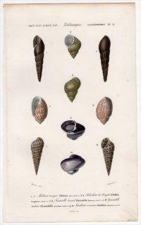 1849年 D'Orbigny 万有博物事典 軟体動物 Pl.12 カワニナ科 タニシ科 オオシイノミガイ科 トウガタガイ科 イトカケガイ科など5種