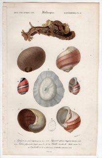 1849年 D'Orbigny 万有博物事典 軟体動物 Pl.10 アメフラシ科 カサカムリナメクジ科 タマガイ科 ミスガイ科 ヒトエガイ科など5種
