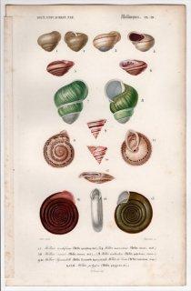 1849年 D'Orbigny 万有博物事典 軟体動物 Pl.19 マイマイ科 ナンバンマイマイ科 トウガタガイ科 ソラロプシダ科など7種