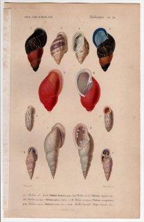 1849年 D'Orbigny 万有博物事典 軟体動物 Pl.20 トウガタマイマイ科 オオアカマイマイ科 オニグチギセル科 オオタワラガイ科など6種