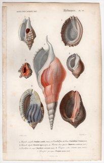 1849年 D'Orbigny 万有博物事典 軟体動物 Pl.22 スイショウガイ科 アッキガイ科 トウカムリ科など7種