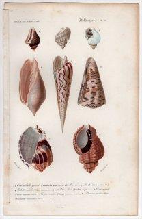 1849年 D'Orbigny 万有博物事典 軟体動物 Pl.23 タモトガイ科 オリイレヨフバイ科 ヒタチオビガイ科 タケノコガイ科など7種
