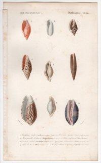 1849年 D'Orbigny 万有博物事典 軟体動物 Pl.24 リュウグウボタル科 ヘリトリガイ科 フデガイ科 トンボガイ科 タカラガイ科など8種