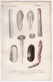 1849年 D'Orbigny 万有博物事典 軟体動物 Pl.2 ニオガイ科 ユキノアシタガイ科 ツツガキ科 キヌマトイガイ科 フナクイムシ科など5種