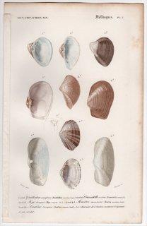 1849年 D'Orbigny 万有博物事典 軟体動物 Pl.3 バカガイ科 モシオガイ科 オオノガイ科 スエモノガイ科など5種