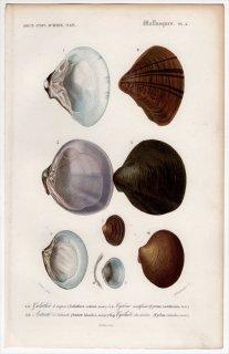 1849年 D'Orbigny 万有博物事典 軟体動物 Pl.4 フジノハナガイ科 シジミ科 ツキガイ科 ドブシジミ科など4種