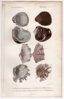 1849年 D'Orbigny 万有博物事典 軟体動物 Pl.5 ザルガイ科 エゼリアガイ科 キクザルガイ科など4種