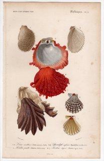 1849年 D'Orbigny 万有博物事典 軟体動物 Pl.8 ミノガイ科 ウミギク科 イタボガキ科 イタヤガイ科など4種