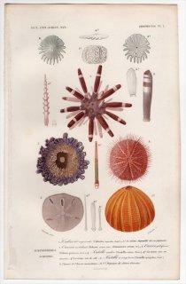 1849年 D'Orbigny 万有博物事典 Pl.1 オウサマウニ科 ナガウニ科 ホンウニ科 ロツラ科 アメリカスカシカシパン科など5種