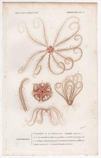 1849年 D'Orbigny 万有博物事典 Pl.3 ヒメウミシダ科 ヒメウミシダ属 Comatula mediterranea