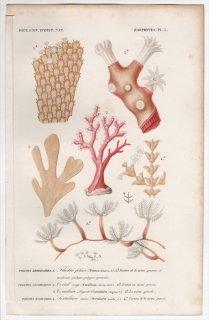 1849年 D'Orbigny 万有博物事典 Pl.5 オウギコケムシ科 サンゴ科 ウミシバ科など4種