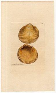 1814年 Sowerby イギリスの化石貝類学 Pl.49 ザルガイ科 カルディウム属 CARDIUM parkinsoni