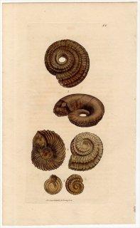 1814年 Sowerby イギリスの化石貝類学 Pl.52 エウオンファルス科 エウオンファルス属 EUOMPHALUS 3種