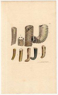 1814年 Sowerby イギリスの化石貝類学 Pl.62 ハミテス科 ハミテス属 HAMITES 3種 アンモナイト
