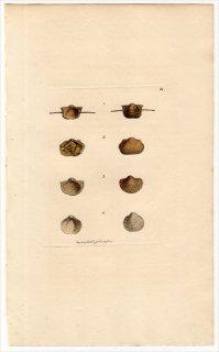 1814年 Sowerby イギリスの化石貝類学 Pl.68 プロダクタス科など4種 アンモナイト