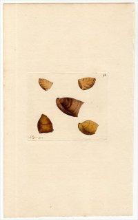 1815年 Sowerby イギリスの化石貝類学 Pl.96 ゼイレリア科 ゼイレリア属 TEREBRATULA digona