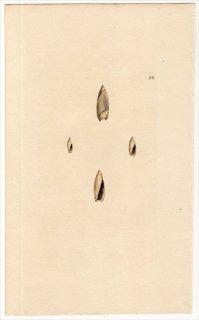 1815年 Sowerby イギリスの化石貝類学 Pl.99 マクラガイ科 リュウグウボタル科 2種