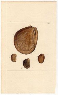 1815年 Sowerby イギリスの化石貝類学 Pl.114 ミノガイ科 3種 イタヤガイ科 1種