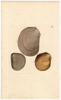 1815年 Sowerby イギリスの化石貝類学 Pl.113 ミノガイ科 リマ属 プラギオストマ属 3種