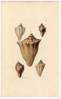 1816年 Sowerby イギリスの化石貝類学 Pl.115 ヒタチオビガイ科 アスレタ属 ウォルタ属など3種