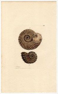 1816年 Sowerby イギリスの化石貝類学 Pl.117 ドウビレイセラス科 AMONITES monile