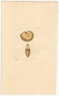 1816年 Sowerby イギリスの化石貝類学 Pl.121 ジュズハリガイ科 レンチクリナ属 NAUTILUS comptoni