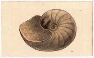1816年 Sowerby イギリスの化石貝類学 Pl.125 オウムガイ科 オウムガイ属 NAUTILUS intermedius