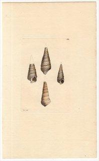 1816年 Sowerby イギリスの化石貝類学 Pl.128 オニツノガイ科 オニノツノガイ属 CERITHIUM funatum