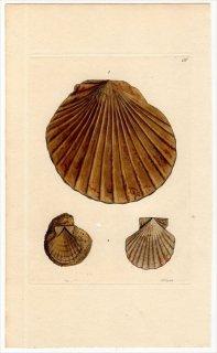 1816年 Sowerby イギリスの化石貝類学 Pl.136 イタヤガイ科 イタヤガイ属 Pecten 2種