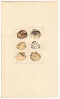 1816年 Sowerby イギリスの化石貝類学 Pl.137 エゾシラオガイ科 ネオミオドン科など3種