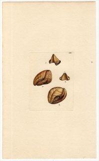 1816年 Sowerby イギリスの化石貝類学 Pl.150 リンコネラ科 テレブラツラ科など4種