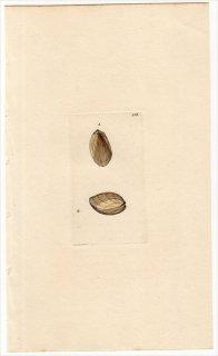 1816年 Sowerby イギリスの化石貝類学 Pl.152 ミノガイ科 ユキバネガイ属 LIMA gibbosa