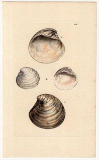 1816年 Sowerby イギリスの化石貝類学 Pl.155 エゾシラオガイ科 マルスダレガイ科など4種