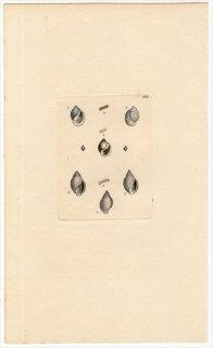 1817年 Sowerby イギリスの化石貝類学 Pl.163 マメウラシマガイ科 オカミミガイ科 オオシイノミガイ科など3種