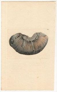1817年 Sowerby イギリスの化石貝類学 Pl.164 リトセラス科 リトケラス属 AMMONITES fimbriatus アンモナイト