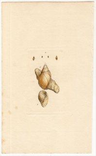 1817年 Sowerby イギリスの化石貝類学 Pl.169 モノアラガイ科 モノアラガイ属 Lymnaea 2種
