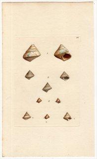 1817年 Sowerby イギリスの化石貝類学 Pl.181 エビスガイ科 ニシキウズガイ科など5種