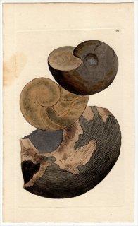 1817年 Sowerby イギリスの化石貝類学 Pl.182 オウムガイ科 オウムガイ属 NAUTILUS striatus