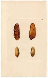1818年 Sowerby イギリスの化石貝類学 Pl.198 ニオガイ科 ニオガイ属 ヨーロッパニオガイ PHOLAS cylindricus