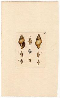 1818年 Sowerby イギリスの化石貝類学 Pl.199 アッキガイ科 コロモガイ科 フデシャジク科 エゾバイ科など6種