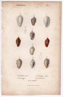 1834年 Kiener 貝殻の一般的な種と図像 Marginelles Pl.3 ヘリトリガイ科 プルヌム属 ヘリトリガイ属 アウストロギネッラ属など5種