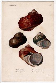 1834年 Kiener 貝殻の一般的な種と図像 Turbo Pl.6 リュウテン科 リュウオウスガイ リュウオウスガイ オオベソスガイ属