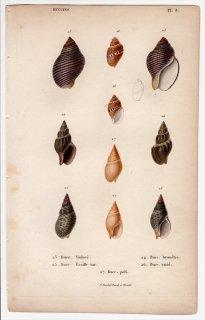 1834年 Kiener 貝殻の一般的な種と図像 Buccins Pl.8 エゾバイ科 4種 オリイレヨフバイ科 1種